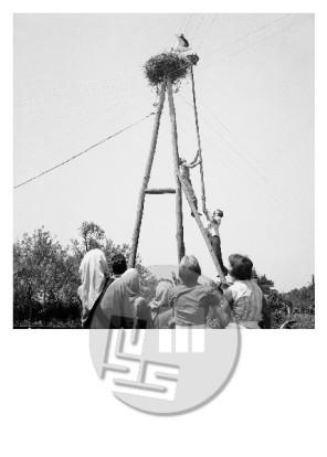 ES-350-13: Reševanje štorkljinega mladiča, ki je padel iz gnezda, v vasi Gorica na Goričkem, poleti 1962.
