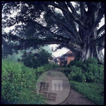 Popotniki imajo pod košatim drevesom pipalom dobrodošlo senca in kraj za počivanje. Foto: Aleš Kunaver.