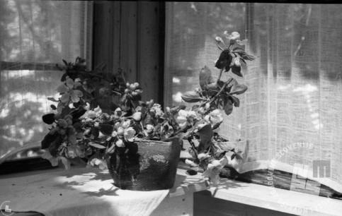 Rože v eni izmed partizanskih bolnic v Kočevskem rogu. Domnevno v bolnici Zgornji Hrastnik. Foto: dr. Janez Milčinski. Hrani MNZS, inv. št. 1232.