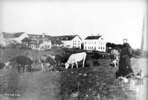 Brat Celestin Lavrenčič pase samostansko živino, v ozadju so gospodarska poslopja. Foto: neznan, hrani: MNZS.